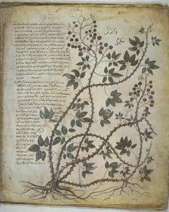viennadioscoridesplant